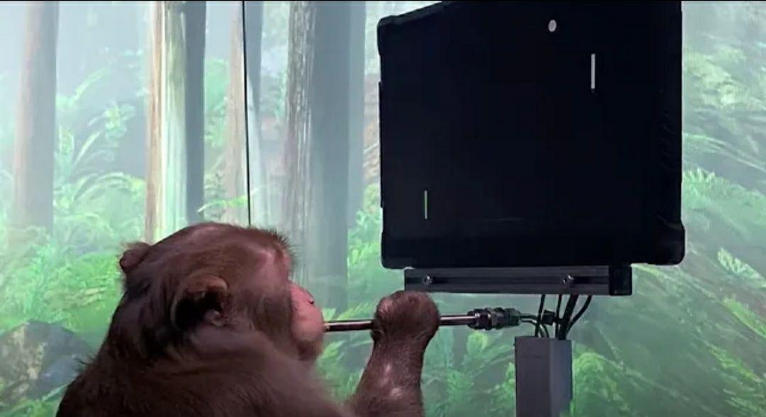 🔴نورالینک ساعاتی پیش یک ویدیو از بازی کردن میمون با کامپیوتر منتشر کرد! در مغز این میمون، چیپست نورالینک جایگذاری شده است.  مشاهده ویدیو در یوتیوب: https://youtu.be/rsCul1sp4hQ  📌 فنولوژی | قدرتگرفته از آینده | @fanology_ir @aimachinelearning