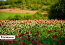 دشت گلهای لاله در هزارجریب بهشهر   https://www.khazarnama.ir/دشت-گل%e2%80%8cهای-لاله-در-هزارجریب-بهشهر/