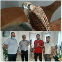 دو بهله پرنده شکاری  دلیجه توسط دوستداران طبیعت به اداره حفاظت محیط زیست تحویل داده تا پس از تغذیه و تیمار در زیستگاه اصلی آن رها سازی شود. @mazanddoe