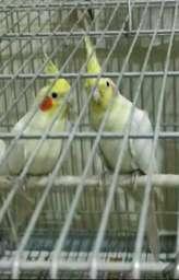 طوطی اعضای کانال 😍     🦜🦜کانال طوطی سانان🦜🦜  پست را برای دوستانتان ارسال کنین❤  @Parrot_iran