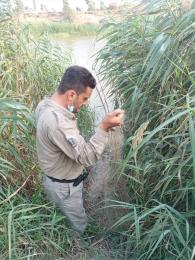 🔹مامورین اجرایی پناهگاه حیات وحش دشت ناز حین گشت و کنترل و جلوگیری از تخلفات شکار و صید ، در محدوده رودخانه زردی  2 رشته تور ماهیگیری کشف وضبط کردند. @mazanddoe